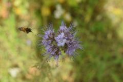 Biene im Anflug an eine Phaceliablüte