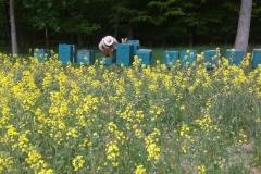 Bienenkontrolle am Rapsfeld