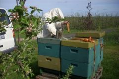 Bienenkontrolle in der Obstbaumplantage