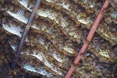 Blick in einen Bienenkorb während der Heideblüte