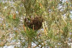 ein Bienenschwarm hat sich an einen Baum gesetzt