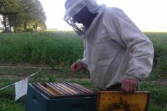 Bienenkontrolle-der-Raps-beginnt-gerade-zu-blühen-min