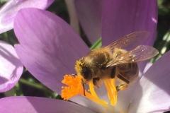Krokus-wichtiger-Pollenlieferant-im-Frühjahr