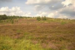 blühende-Heide