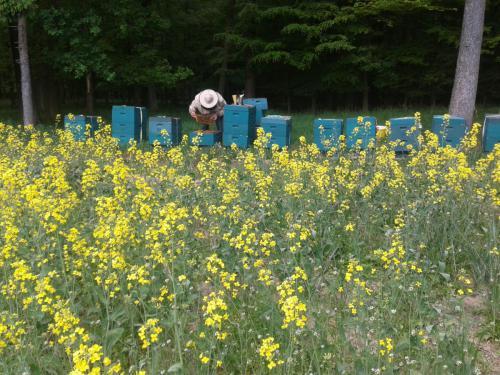 Bienenkontrolle am Rapsfeld-min