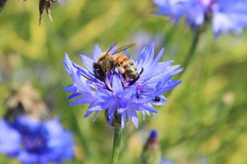 Bienen Phacelia
