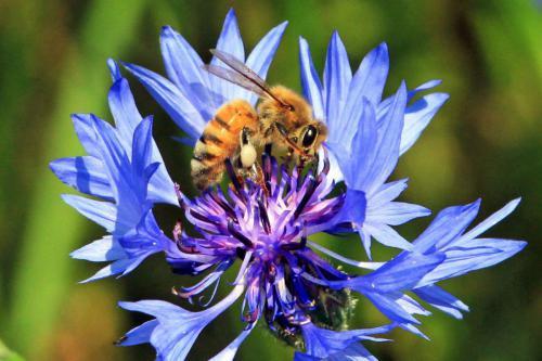 Bienen Phacelia 2