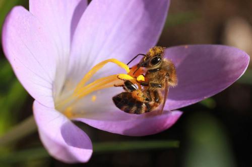 Biene auf Krokos